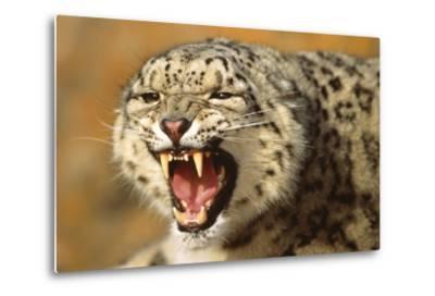 Snow Leopard Snarling-DLILLC-Metal Print