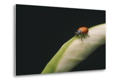 Ladybug-DLILLC-Metal Print