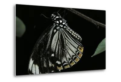 Papilio Clytia (Common Mime Swallowtail)-Paul Starosta-Metal Print