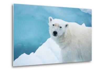 An Alert Polar Bear on Drift Ice-Michael Melford-Metal Print