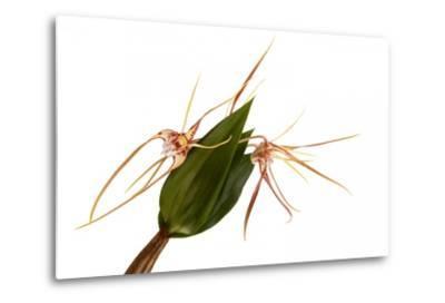 Dendrobium Tetragonum-Fabio Petroni-Metal Print