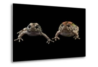 Endangered Malagasy Rainbow Frogs at the National Mississippi River Museum and Aquarium-Joel Sartore-Metal Print