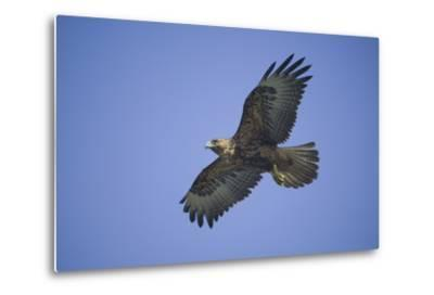 Galapagos Hawk in Flight-DLILLC-Metal Print