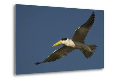 Large-Billed Tern-Joe McDonald-Metal Print