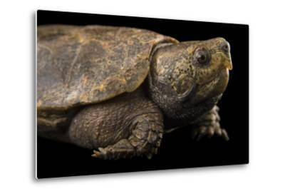 An Endangered Big-Headed Turtle at the National Mississippi River Museum and Aquarium-Joel Sartore-Metal Print
