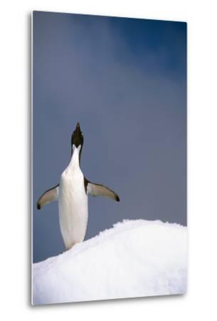 Portrait of Single Adelie Penguin Atop Iceberg South Atlantic Ocean Antarctica Summer-Design Pics Inc-Metal Print
