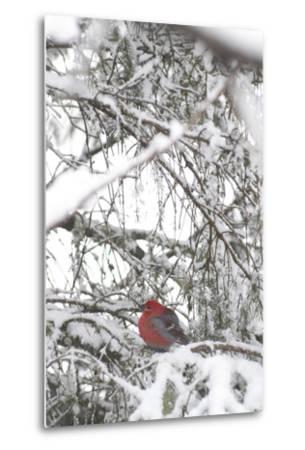 Pine Grosbeak on Snowy Branch Winter Sc Alaska-Design Pics Inc-Metal Print