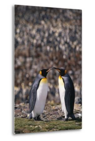 King Penguins Touching Beaks-DLILLC-Metal Print