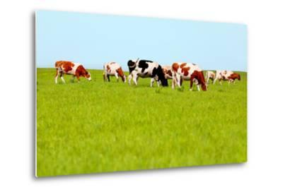 Cows Grazing on Pasture-Liang Zhang-Metal Print