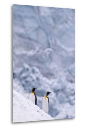 King Penguins Climbing Snow Hill-DLILLC-Metal Print