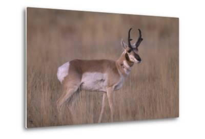Pronghorn in Field-DLILLC-Metal Print