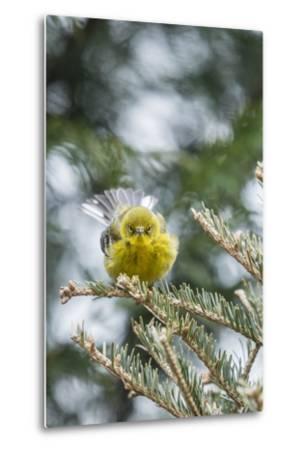 Pine Warbler-Gary Carter-Metal Print