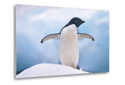Adelie Penguin with Wings Outstretched-DLILLC-Metal Print