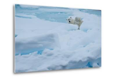 A Polar Bear Lounging on Drift Ice-Michael Melford-Metal Print