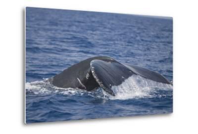Humpback Whale Breaching from the Atlantic Ocean-DLILLC-Metal Print