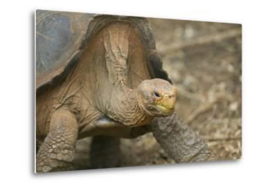 Saddleback Galapagos Tortoise-DLILLC-Metal Print