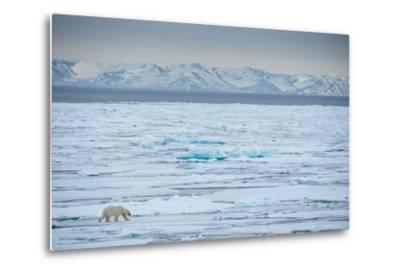 A Lone Polar Bear Traverses the Pack Ice on Hinlopen Strait-Michael Melford-Metal Print