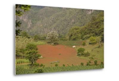 A Farmer Is Using Oxen to Plow a Field in the Best-Known Cigar Growing Region in Cuba-Michael Lewis-Metal Print