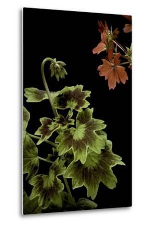 Pelargonium X Hortorum 'Golden Ears' (Common Geranium, Garden Geranium, Zonal Geranium)-Paul Starosta-Metal Print