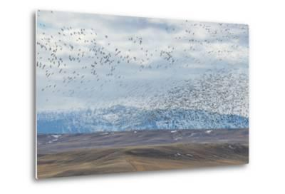 A Flock of Birds Fly Near the Front Range of the Rocky Mountains in Montana-Michael Melford-Metal Print