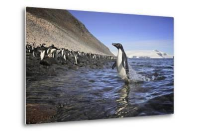An Adelie Penguin Emerges from the Ocean-Jim Richardson-Metal Print