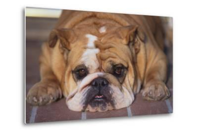 English Bulldog-DLILLC-Metal Print