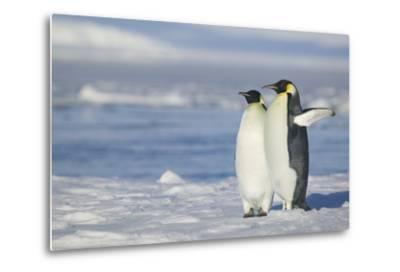 Pair of Emperor Penguins-DLILLC-Metal Print
