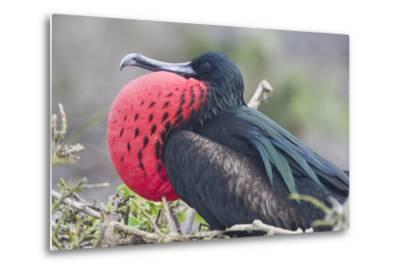 Great Frigatebird Puffing His Inflatable Red Throat Pouch-DLILLC-Metal Print