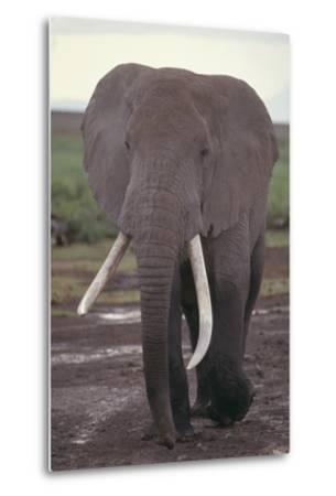 Elephant with Long Tusks-DLILLC-Metal Print