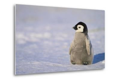 Baby Emperor Penguin-DLILLC-Metal Print