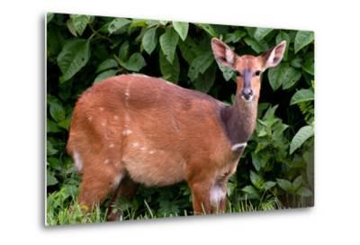 A Lone Bushbuck Stands Alert in the Forest Near Kenya National Park-Shannon Switzer-Metal Print