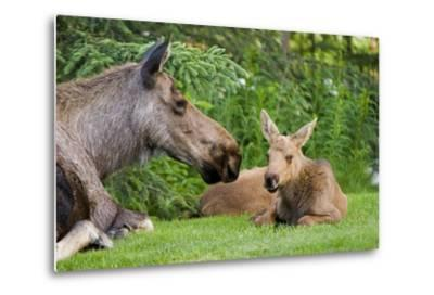 Cow Moose and Calves Laying on Lawn in Anchorage Residents Yard, Sc Alaska Spring-Design Pics Inc-Metal Print