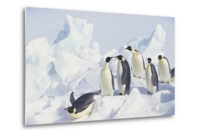Emperor Penguins Sliding Downhill-DLILLC-Metal Print