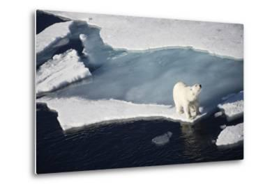 Polar Bear on Melting Sea Ice, High Angle View from Cruise Ship; Svalbard, Norway-Design Pics Inc-Metal Print