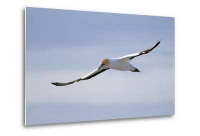 A Cape Gannet in Flight, South Africa-Keith Ladzinski-Metal Print