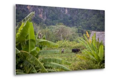 A Farmer Uses Oxen to Plow a Field in the Best-Known Cigar Growing Region in Cuba, Pinar Del Rio-Michael Lewis-Metal Print