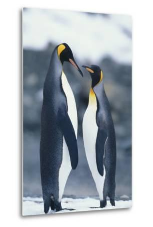 King Penguins Standing Belly to Belly-DLILLC-Metal Print