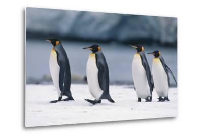 King Penguins Taking a Walk-DLILLC-Metal Print