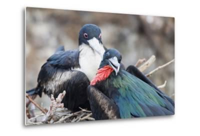 Great Frigatebird Male and Female Pair-DLILLC-Metal Print