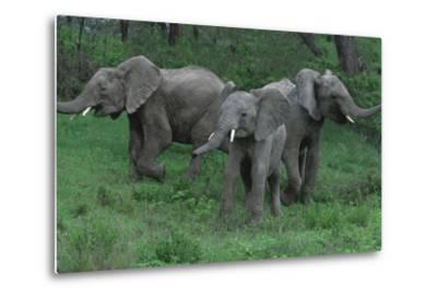 Young Elephants in Field during Standoff-DLILLC-Metal Print