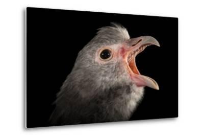 A Southern Screamer, Chauna Torquata, at the Kansas City Zoo-Joel Sartore-Metal Print