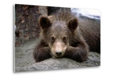 Grizzly Bear Cub Laying on Ground Alaska Wildlife Conservation Center Sc Alaska Summer Captive-Design Pics Inc-Metal Print