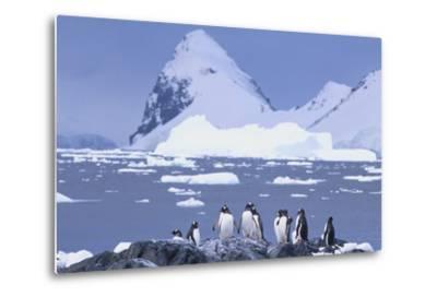 Gentoo Penguin-DLILLC-Metal Print