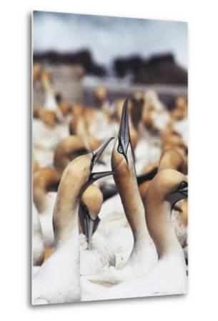 South Africa, Western Cape, High Jinks in the Gannet Colony-Stuart Westmorland-Metal Print