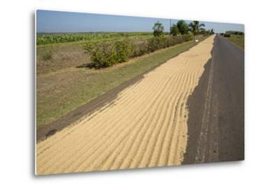 Newly Harvested Rice Dries on a Blacktop Road in a Rural Area-Michael Lewis-Metal Print