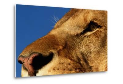 Face of Male Lion-DLILLC-Metal Print