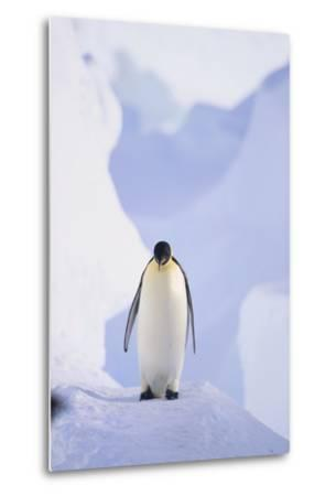 Emperor Penguin-DLILLC-Metal Print