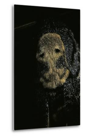 Acherontia Atropos (Death's Head Hawk Moth) - Detail-Paul Starosta-Metal Print