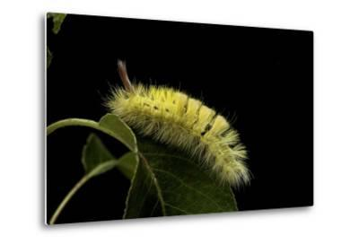 Calliteara Pudibunda (Pale Tussock Moth, Red Tail Moth) - Caterpillar-Paul Starosta-Metal Print