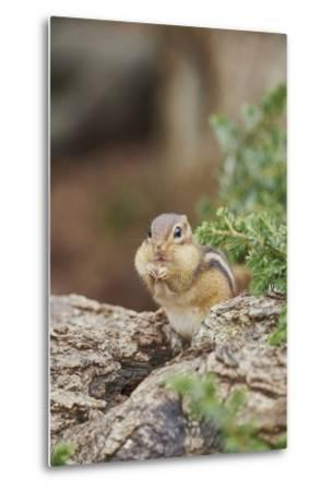 Eastern Chipmunk-Gary Carter-Metal Print